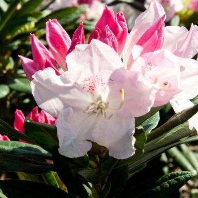 2.5 Qt. Brandi Southgate Rhododendron, Live Evergreen Shrub, Pink Buds open to White Flowers