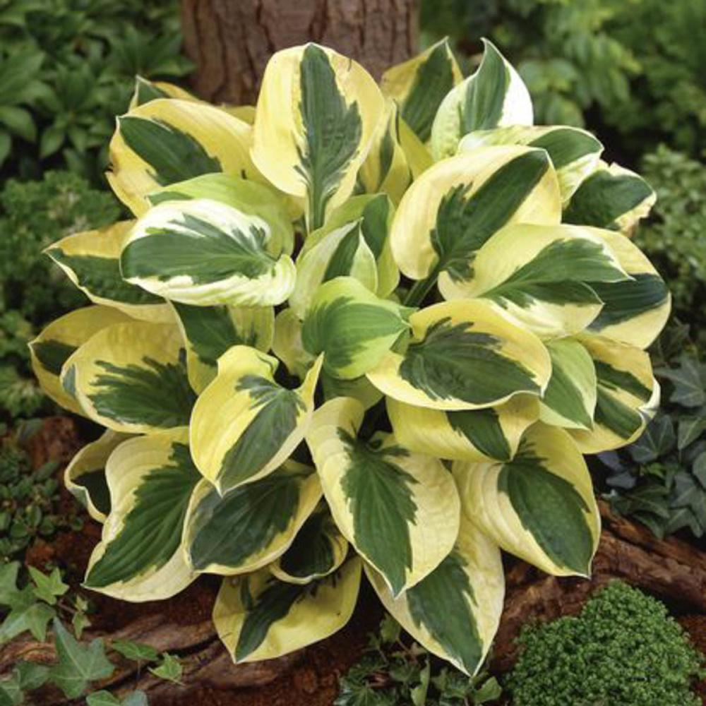 Spring Hill Nurseries Brim Cup Hosta Live Bareroot Perennial With Variegated Foliage 3 Pack