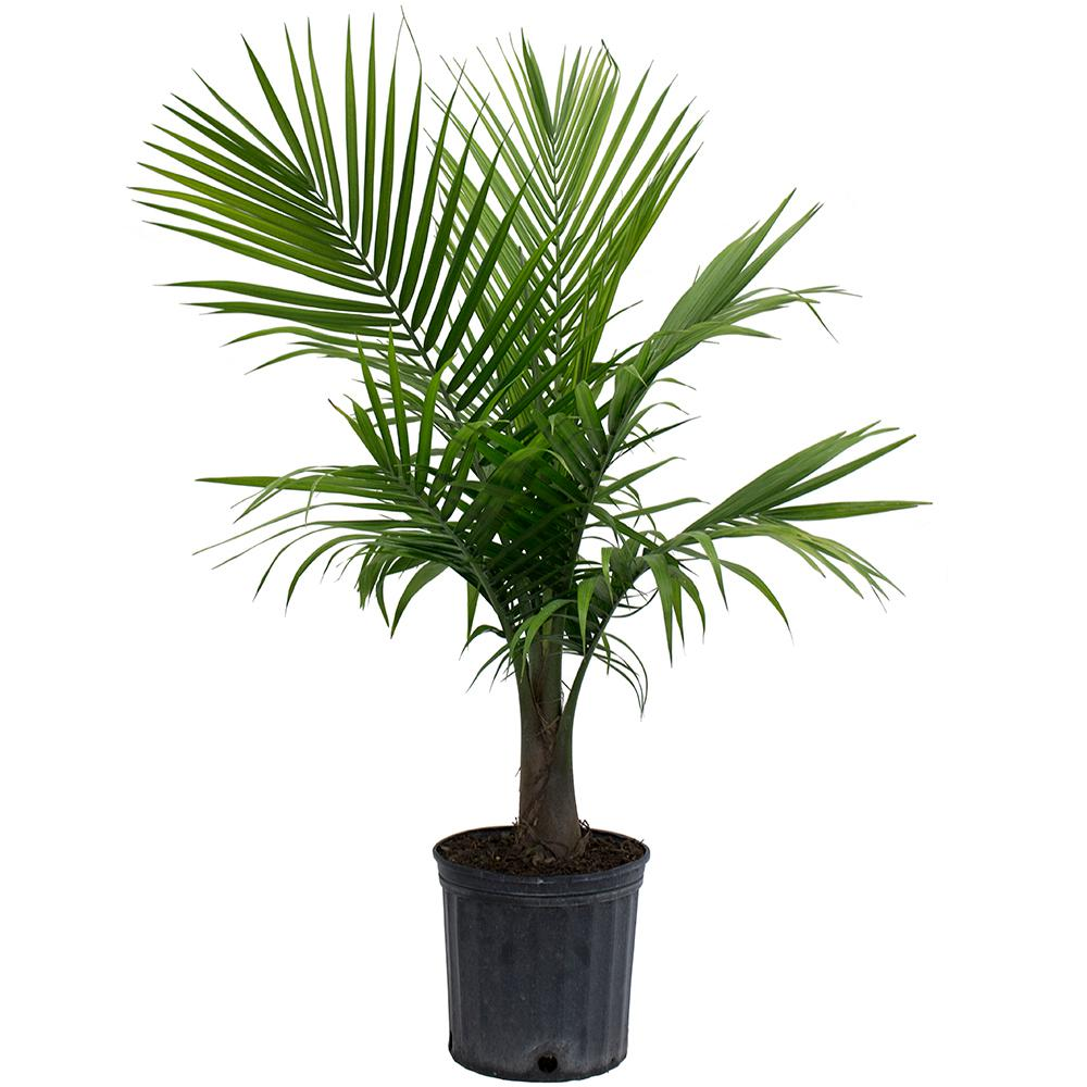 Costa Farms Majesty Palm in 9.25 in. Grower Pot-10MAJ - The Home Depot