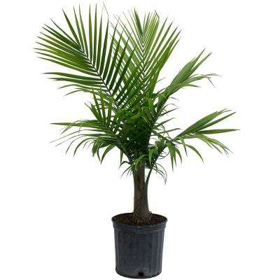 Majesty Palm in 9.25 in. Grower Pot