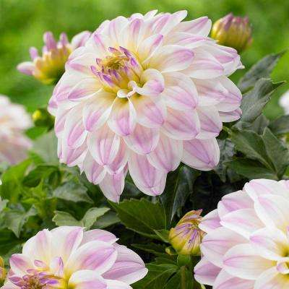 Spring white summer to fall flower bulbs garden plants 1 gallery monet dahlia bulbs 3 pack mightylinksfo