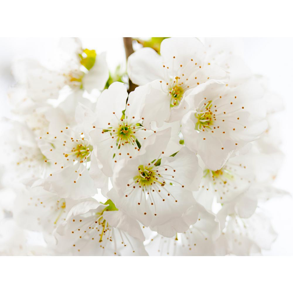 Online Orchards Yoshino Cherry Blossom Tree Bare Root