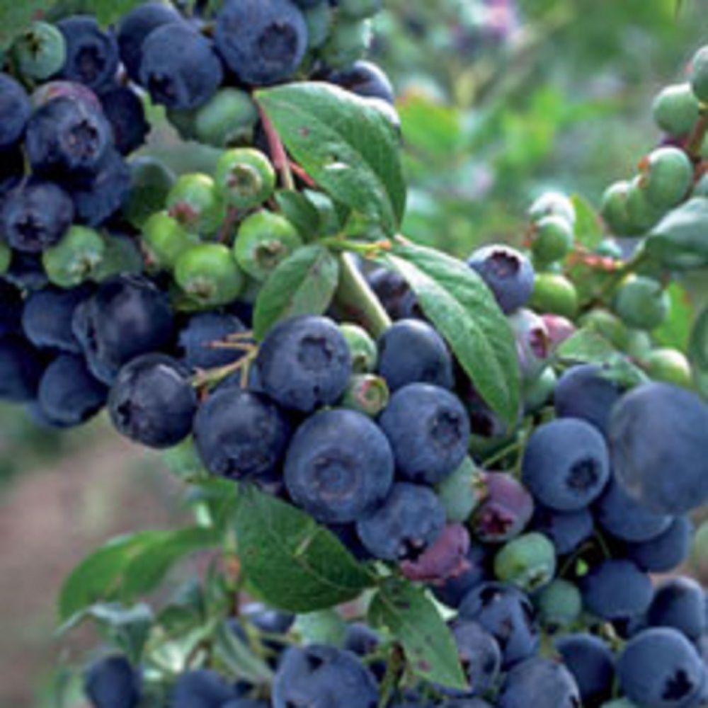 2.5 Qt. Premier Blueberry (Rabbiteye) Bush - Fruit-bearing Shrub