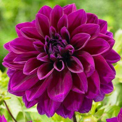 #1 Thomas Edison Dahlia Bulbs (3-Pack)