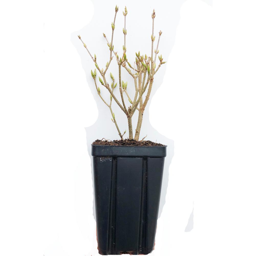 Miss Kim Lilac Potted Flowering Shrub