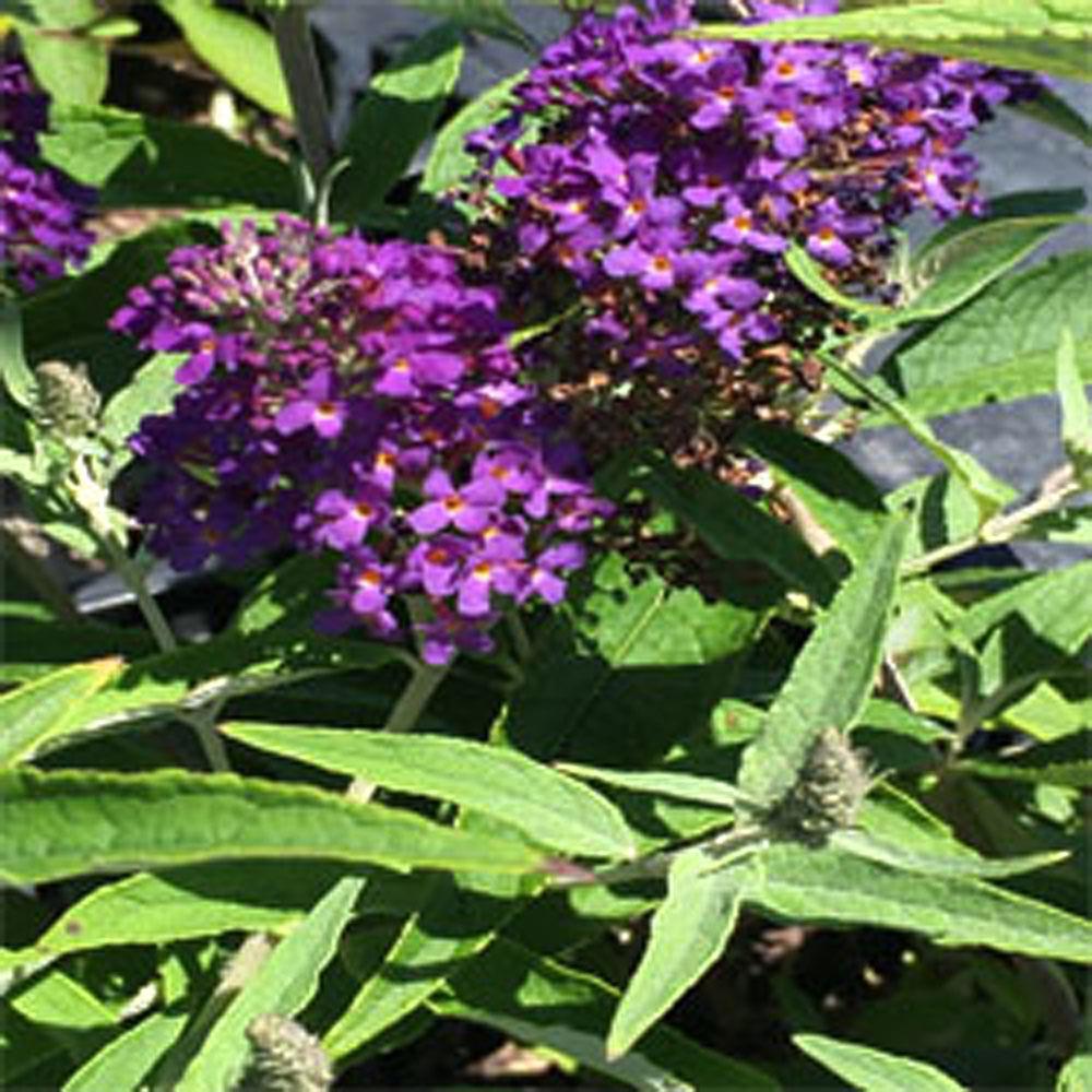 1 Gal. Buzz Midnight Butterfly Bush Plant