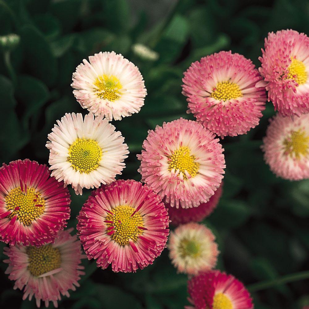 1.38-Pint Pink Common Daisy Plant