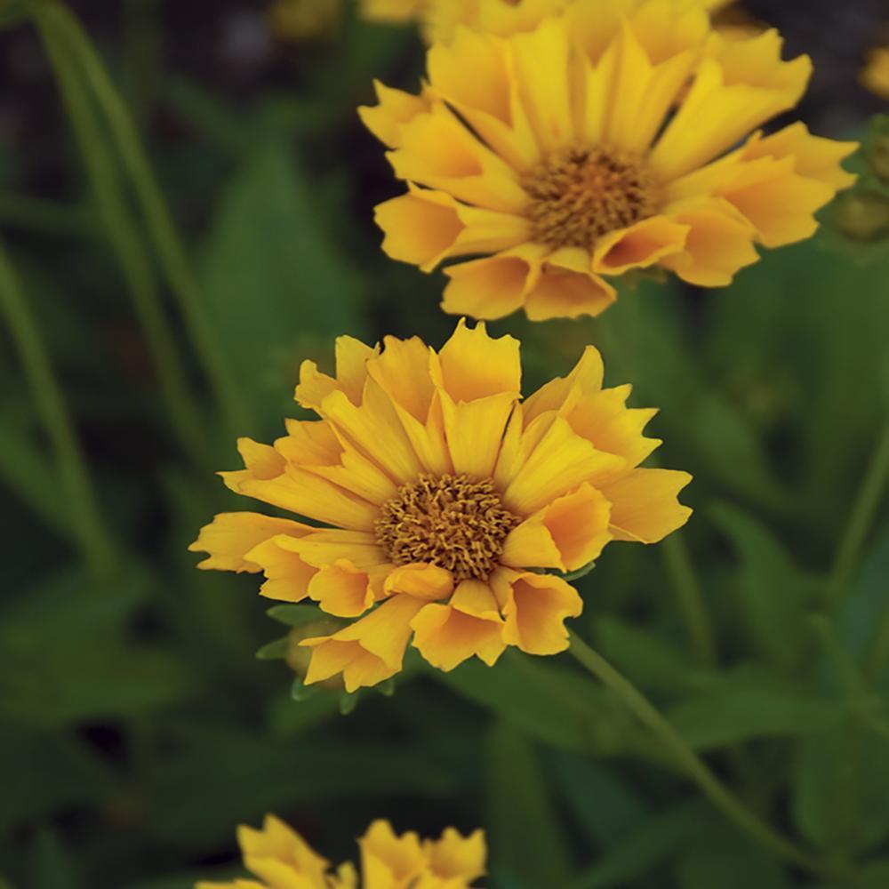 2.5 Qt. Jethro Tull Yellow Tickseed Plant