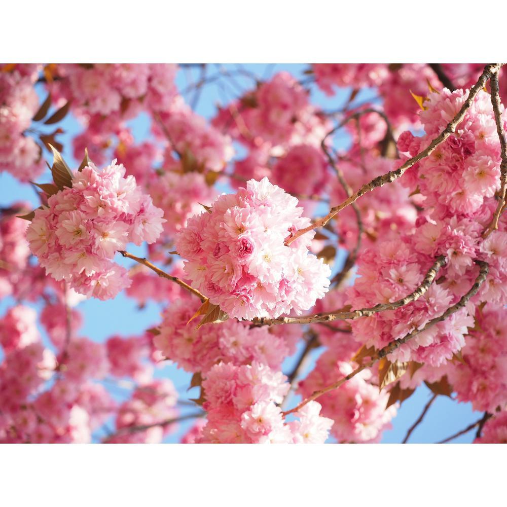 Kwanzan Cherry Blossom Tree