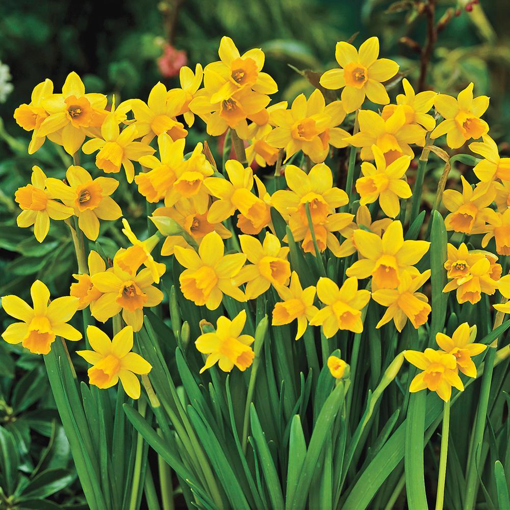 Tete-A-Tete Daffodil Bulbs 25-Pack