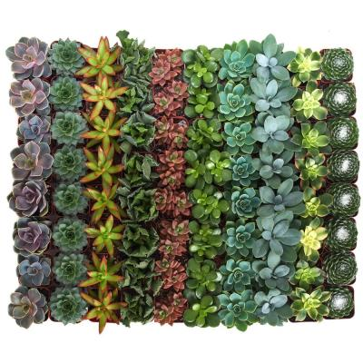 2 in. Assorted Succulent Collection (100-Pack)