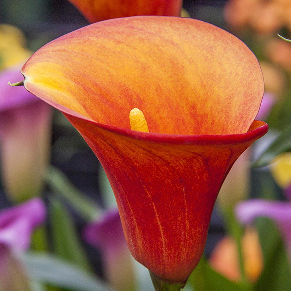 Breck S Flame Calla Lily Bulb 1 Pack 66920 The Home Depot
