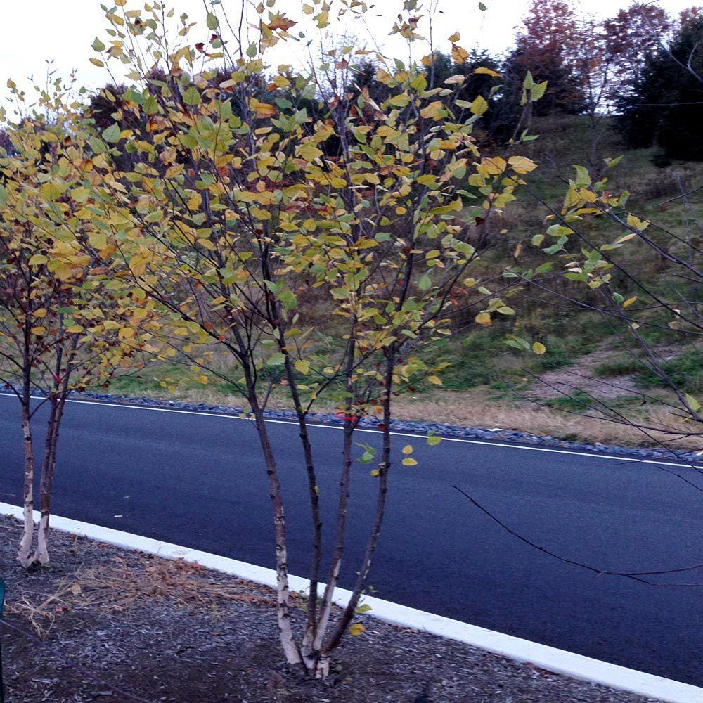 OnlinePlantCenter 5 Gal. 5 ft. River Birch Tree
