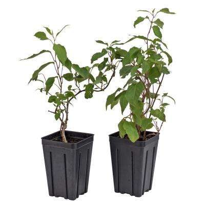 4 in. Potted Anna/Meader Kiwi (Actindia) Live Deciduous Plant Fruiting Vine with White Flowers (2-Pack)
