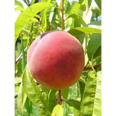 Dwarf Red Haven Peach Tree Bare Root