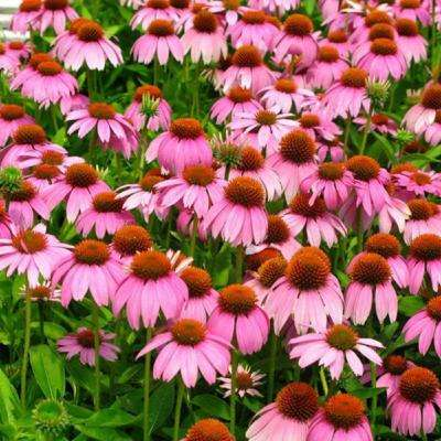 2 5 Qt Crazy Pink Echinacea With Drooping Petals And Large Orange Cones Live