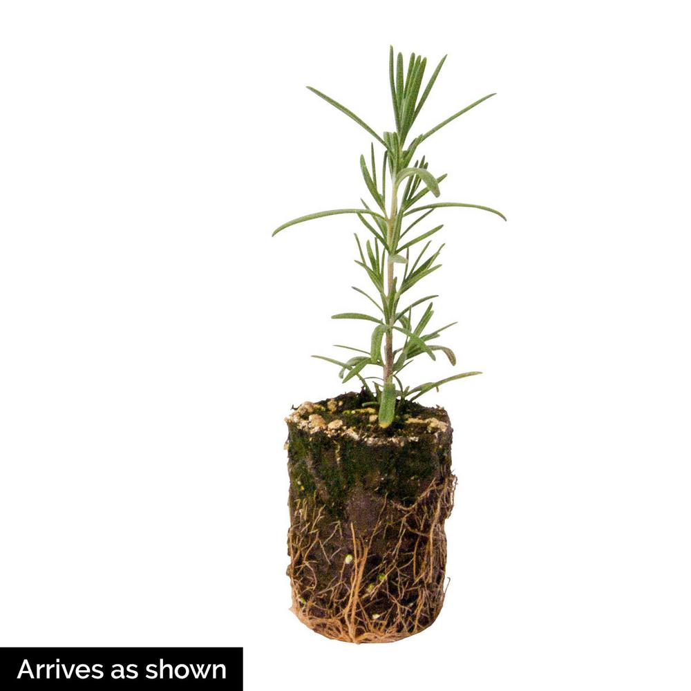 Gurney S 2 In Pot Rosemary Herb Plant Live Potted Herb Plant 1