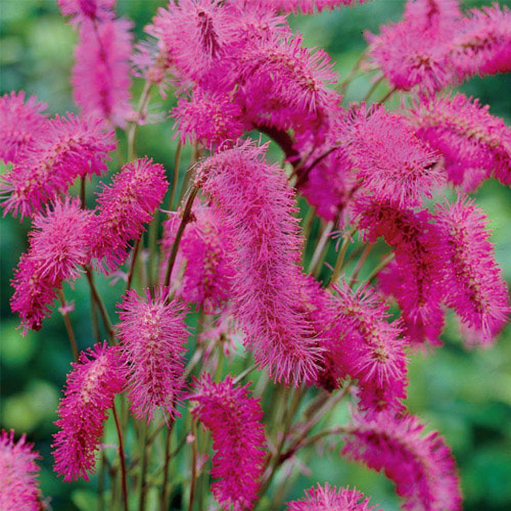 Spring Hill Nurseries Bottlebrush Sanguisorba Live Bareroot Plant