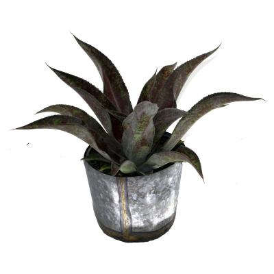 1 Gal. Mangave Mission to Mars Large Succulent Plant