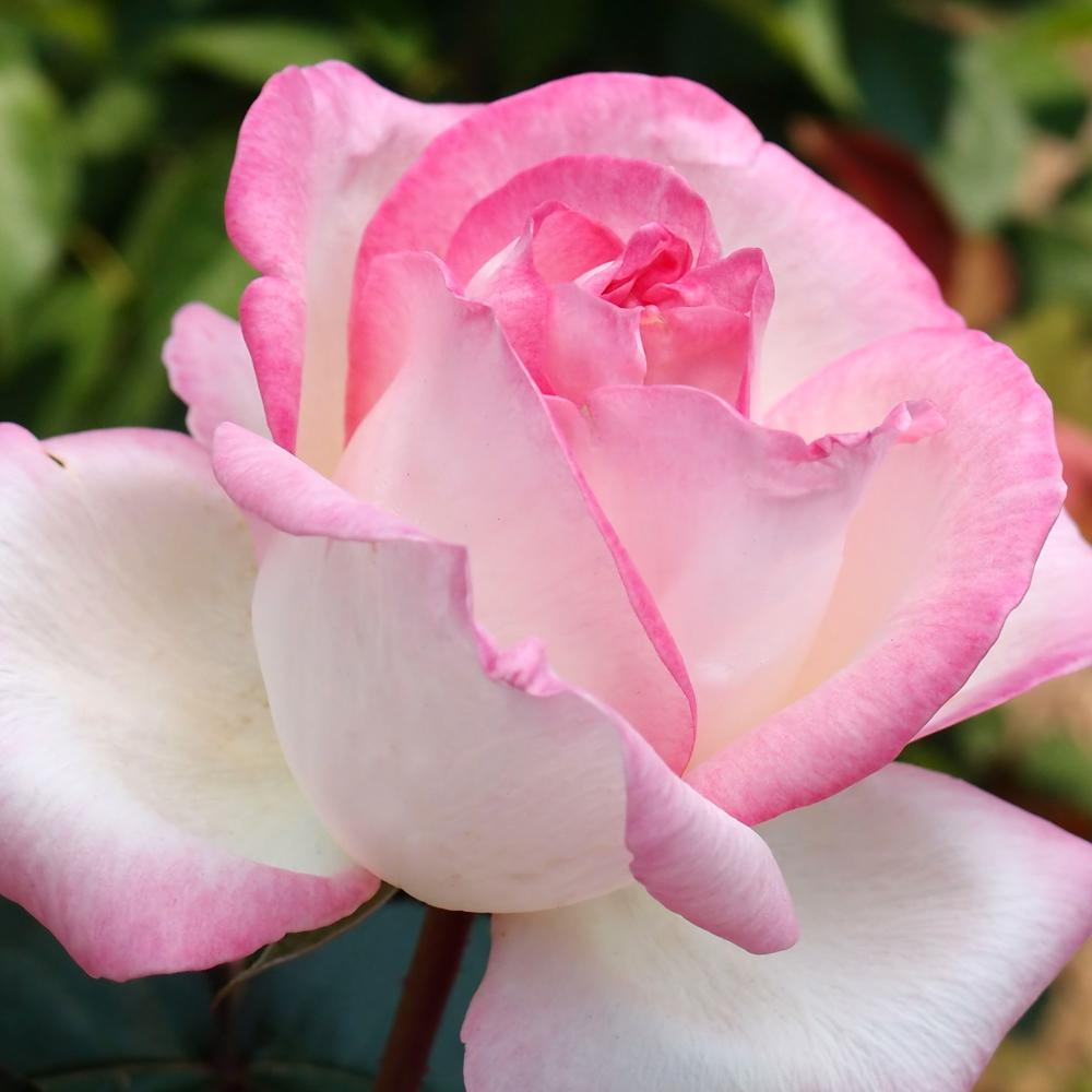 Princess De Monaco Hybrid Tea Rose