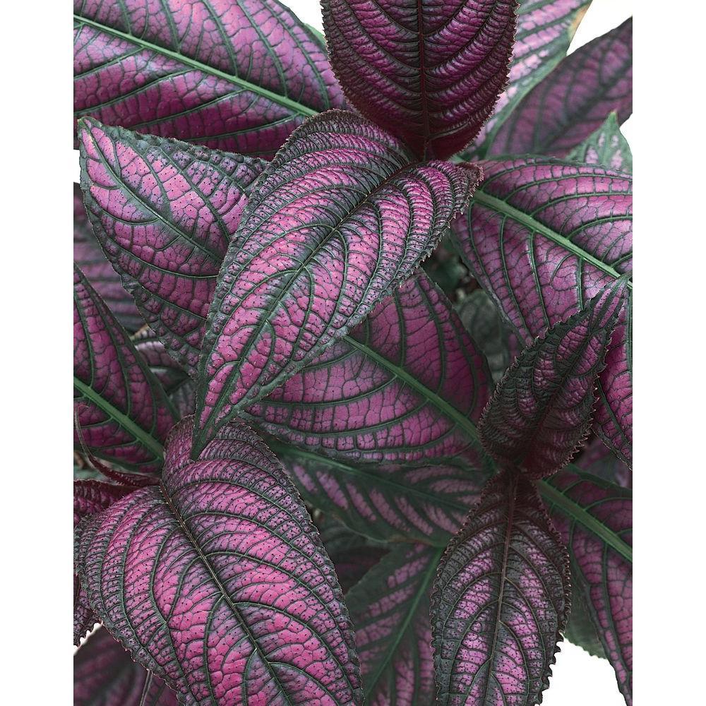 Persian Shield (Strobilanthes) Live Plant, Purple-Black Foliage, 4.25 in. Grande