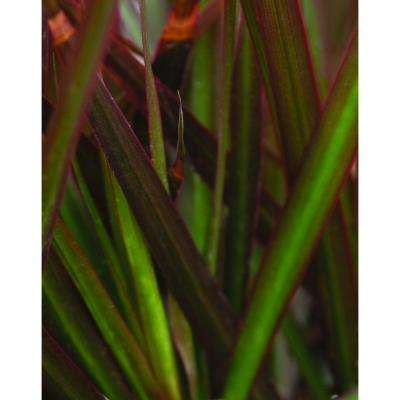 Proven Selections Bloodstone Cordylena 4.5 in. Quart