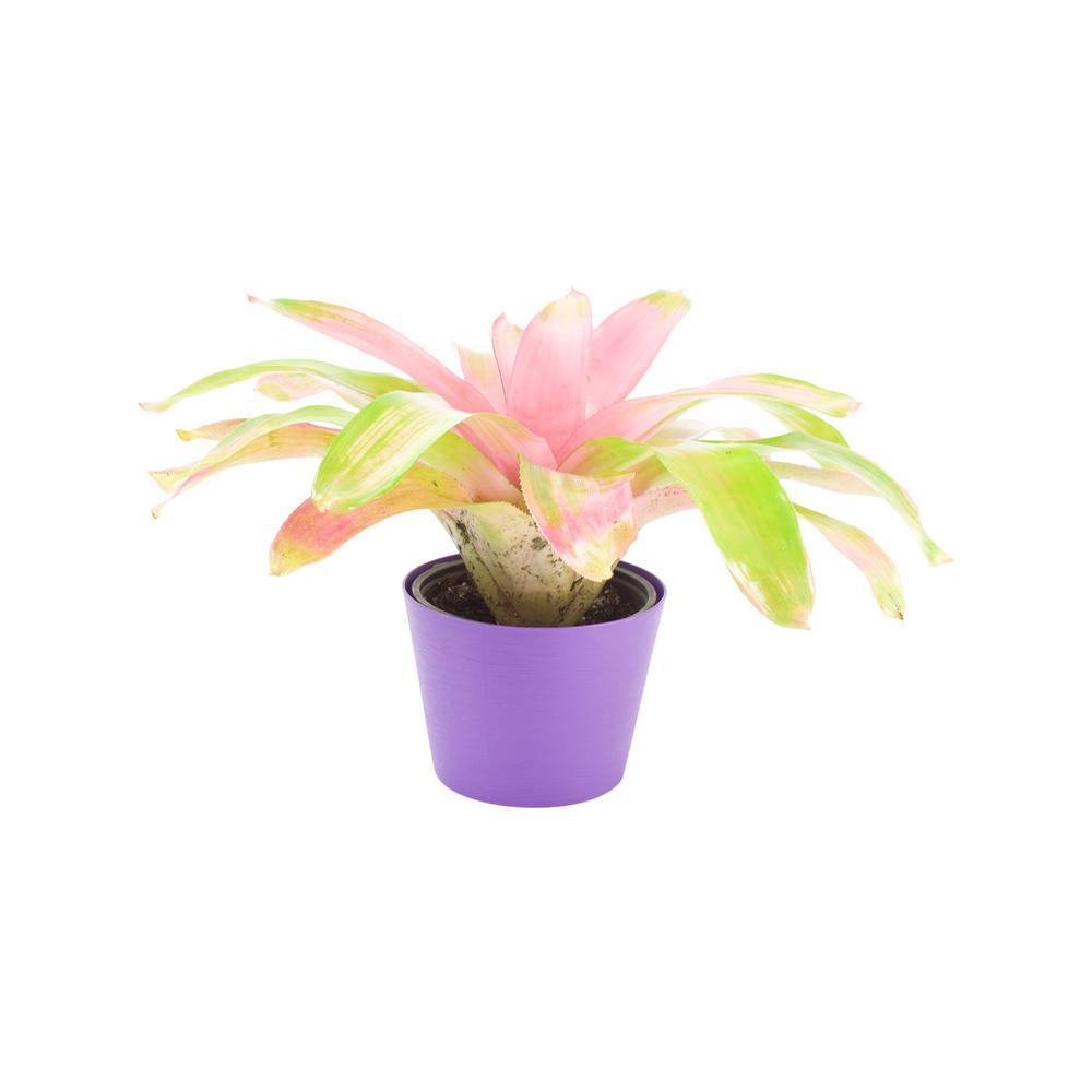 Bromeliad in 6 in. Designer Pot