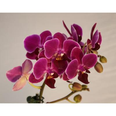 Luna River 3.5 in. Bio Pot Purple Phalaenopsis Orchid