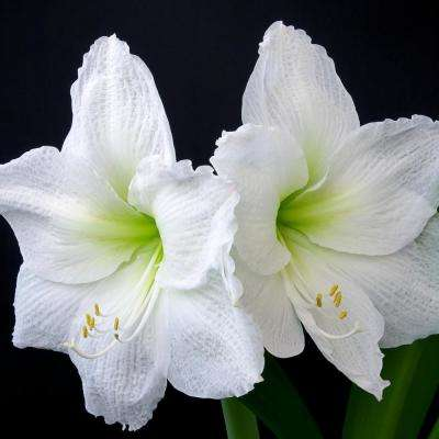 BlooMaker White Blooming Christmas Gift Giant Amaryllis Bulb