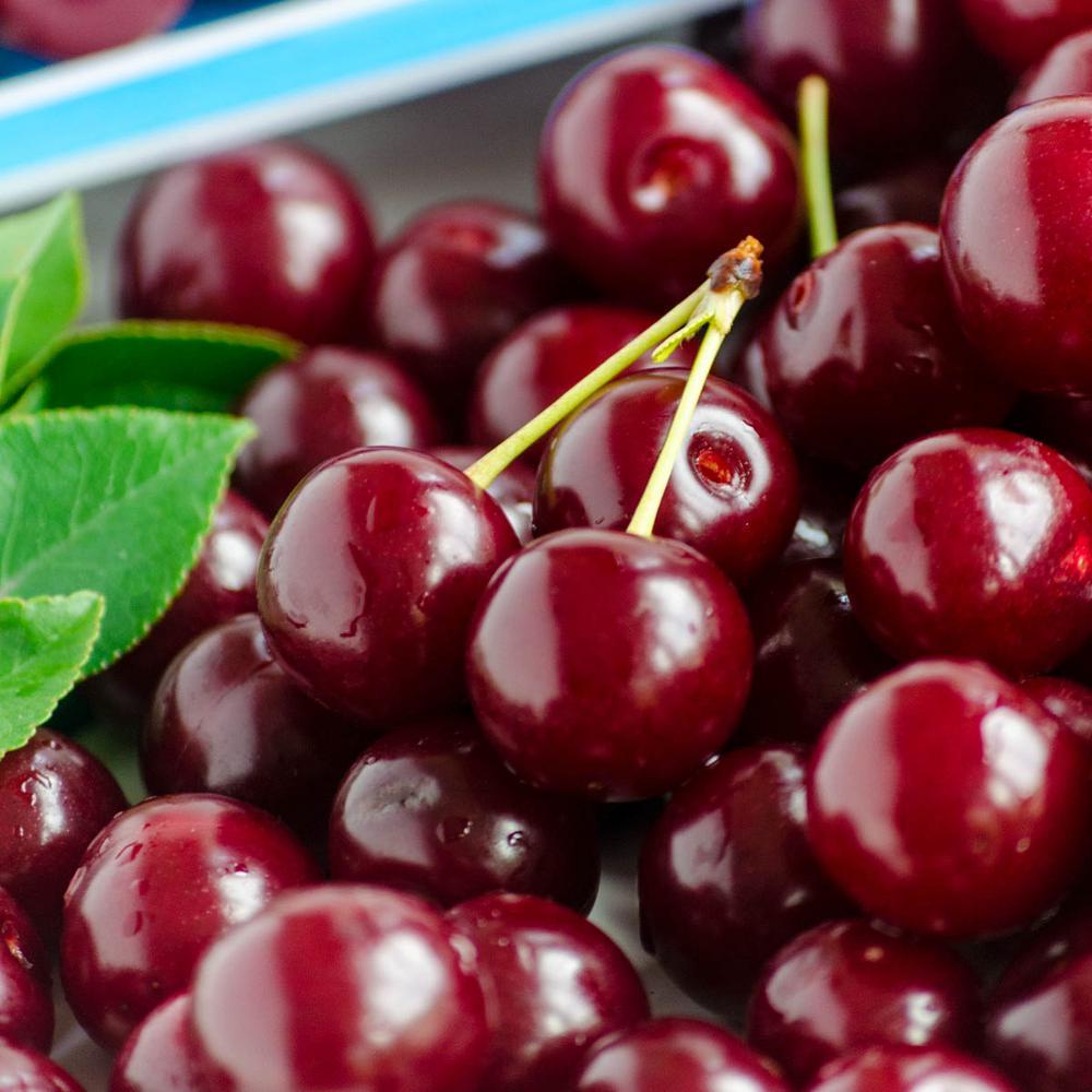 Black Tartarian Cherry Prunus Live Bareroot Fruiting Tree (1-Pack)
