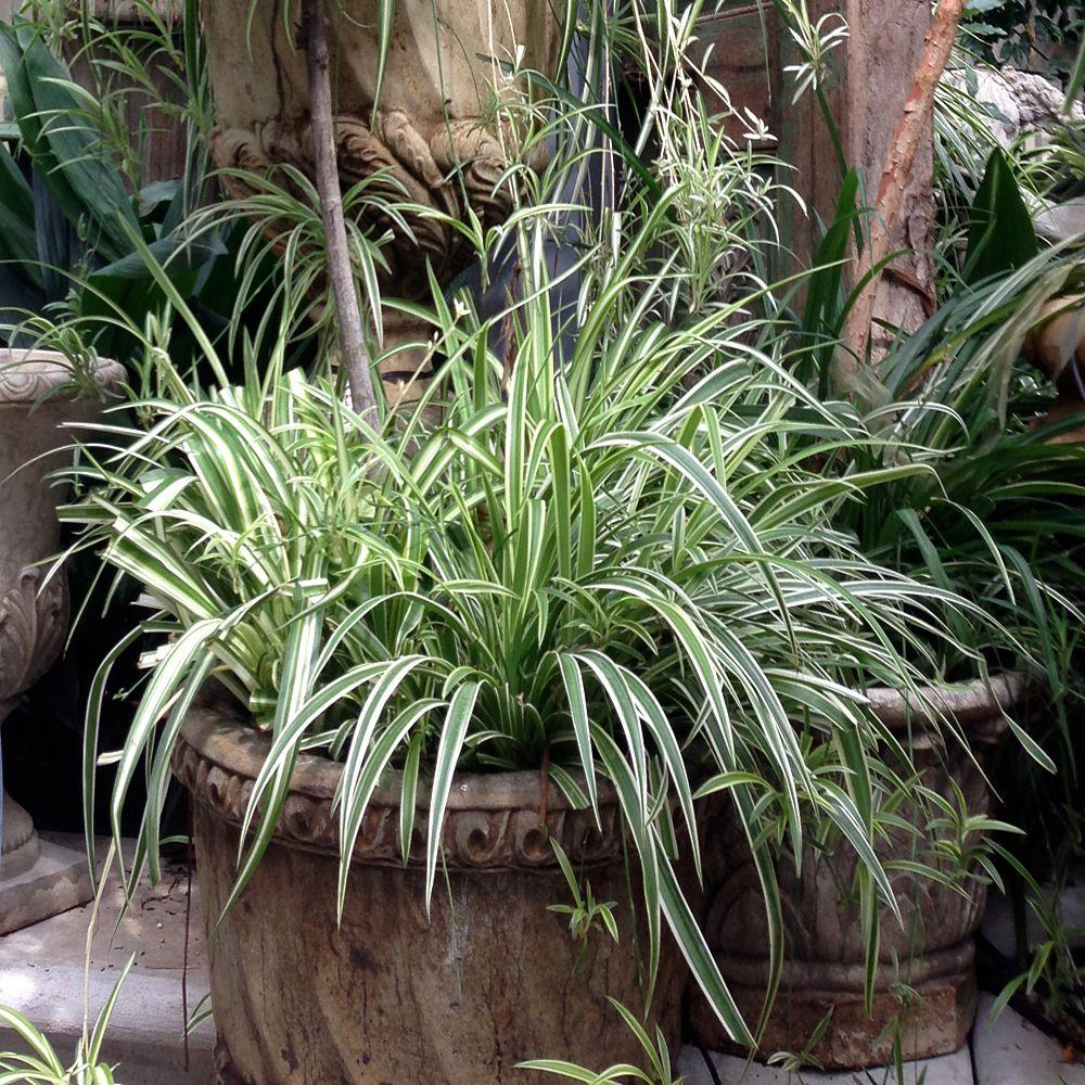 Onlineplantcenter 1 gal variegated japanese sedge for Small decorative grasses