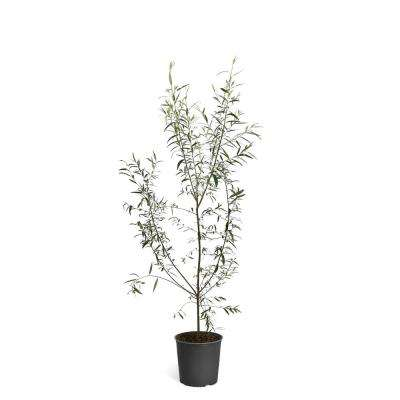 2 Gal. Deciduous Willow Hybrid Trees
