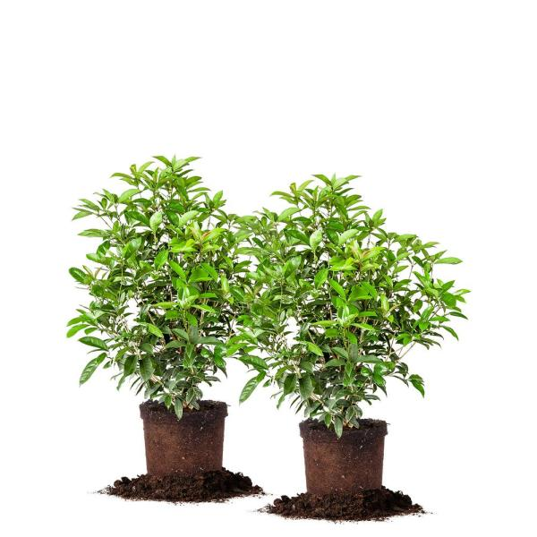 #3 Tea Olive Shrub(2-Pack)