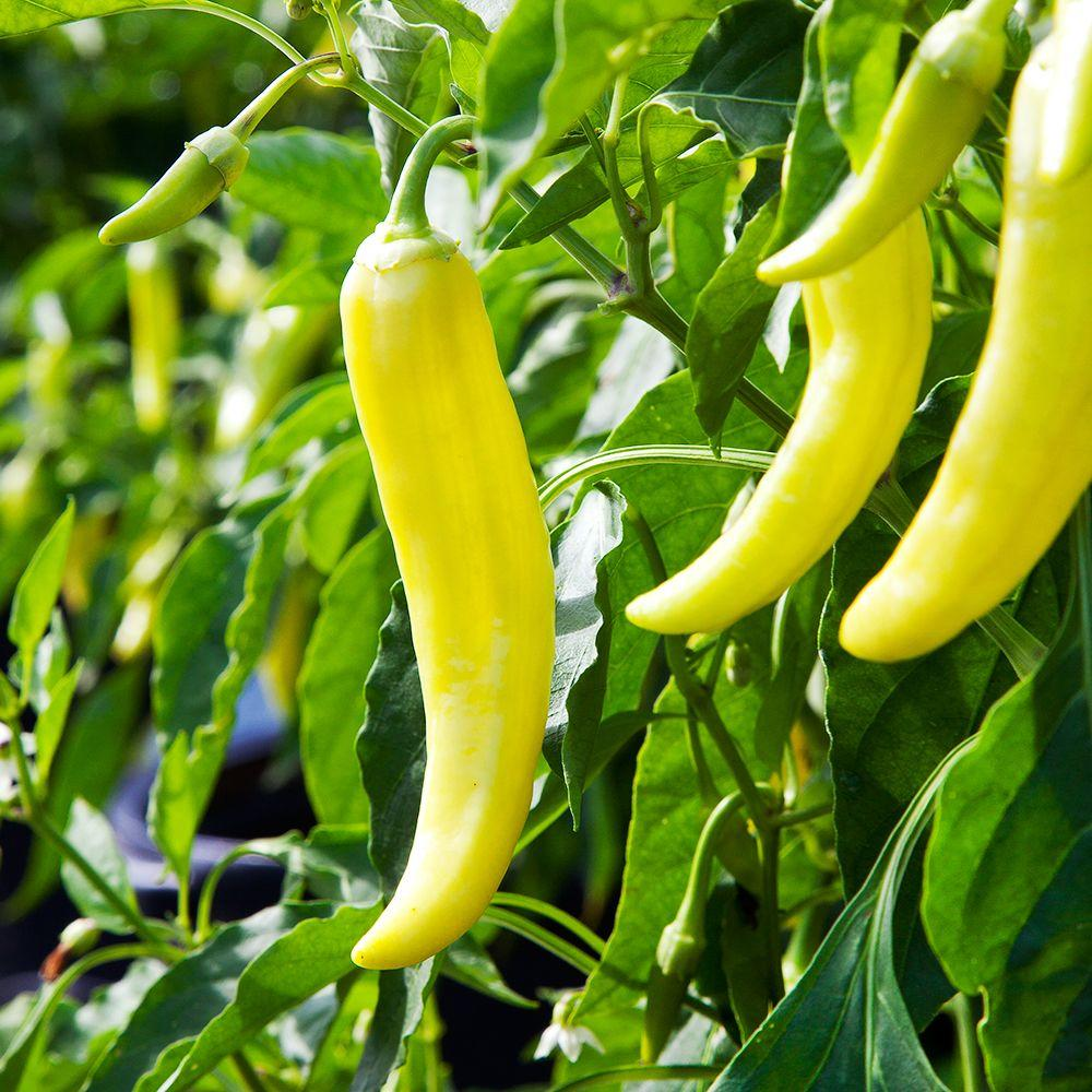 Bonnie Plants 606 Pepper-Banana Hot Pack-2300 - The Home Depot on home depot organic gardening, home depot planting, home depot lavender, home depot weeds, home depot peonies, home depot chrysanthemums, home depot hostas, home depot fall, home depot wildlife, home depot sweet potato, home depot tobacco, home depot vegetables, home depot daffodils, home depot coffee, home depot green beans, home depot hot peppers, home depot rosemary, home depot lawn care, home depot drought, home depot recipes,