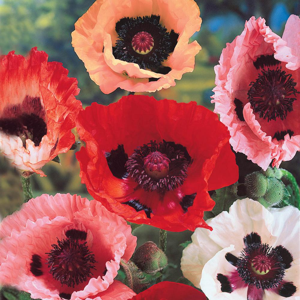 Spring Hill Nurseries Oriental Poppy Papaver Mixture Live