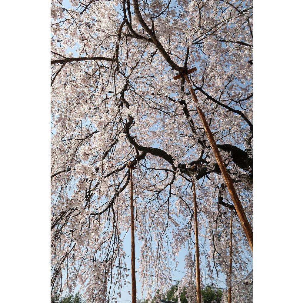Online Orchards Snow Fountain Weeping Cherry Tree Bare Root