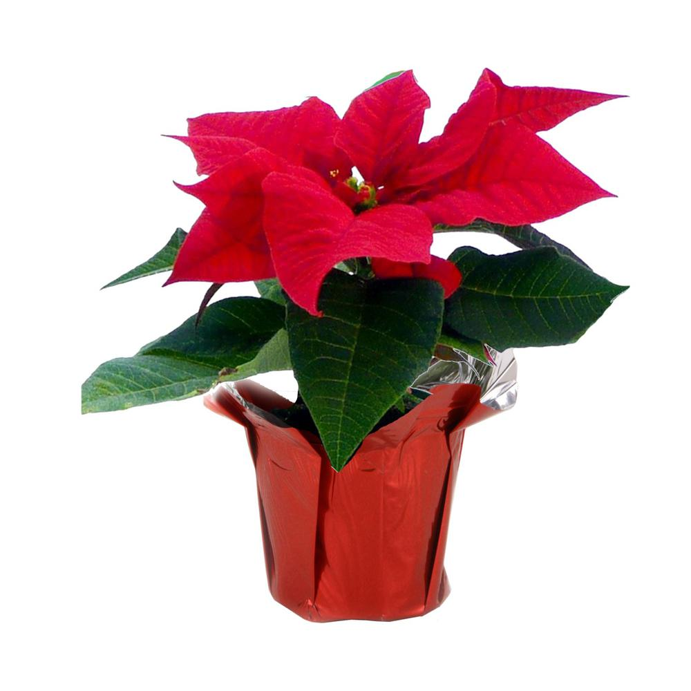 COSTAFARMS Costa Farms 1 pt. Fresh Red Poinsettia with Red Pot Cover (Live)