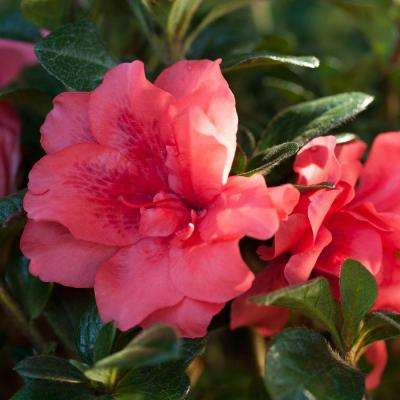 3 Gal. Autumn Princess - Re-Blooming Evergreen Shrub with Ruffled Pink Flowers