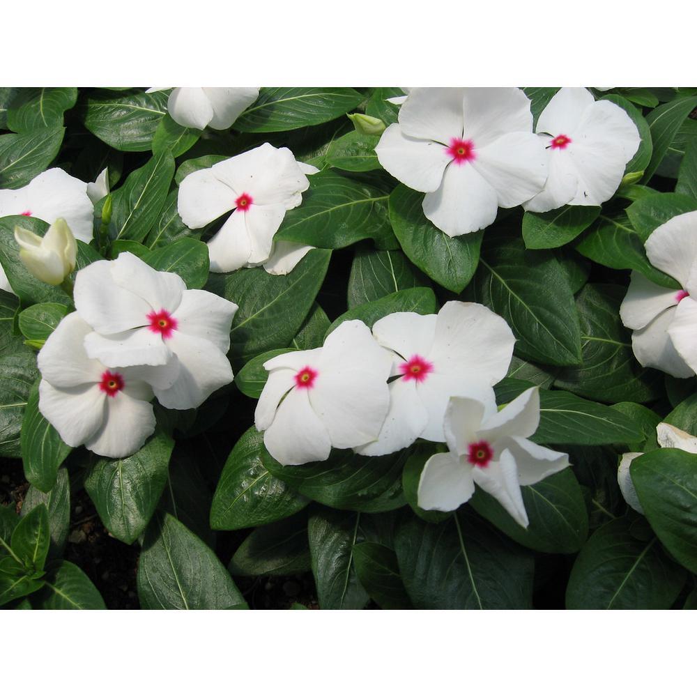 Vinca Cora Periwinkle Plant Polka Dot White Flowers in 4.5 in. Grower's Pot (4-Plants)