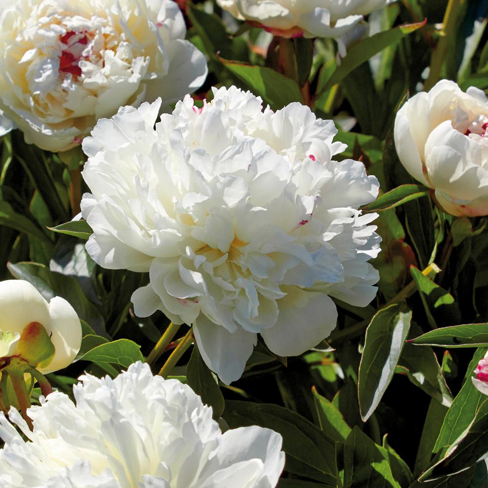 Van Zyverden Peonies Festiva Maxima Roots (Set of 3)-832921 - The ...
