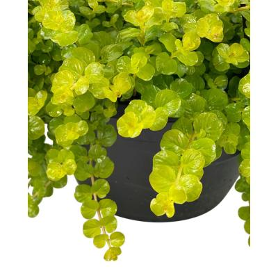 1.8 Gal. Creeping Jenny Lysimachia Plant in 11 In. Hanging Basket