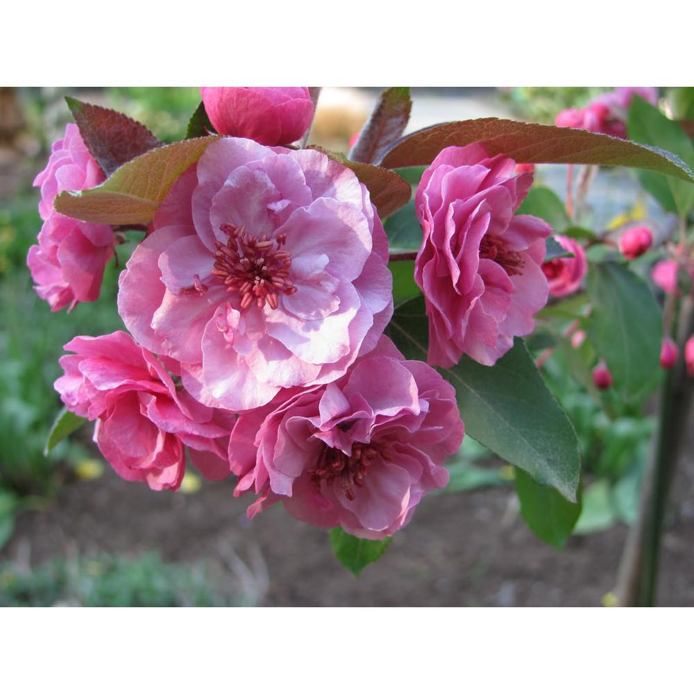 Flowering Crabapple No Fruit