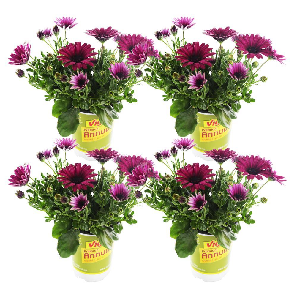 1.71-Pint Vigoro Purple Osteospermum Plant (4-Pack)