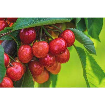 Royal Ann Cherry Tree - Up to 50 lbs. Of Sweet Blonde Cherries in a Season (Bare-Root, 3 ft. to 4 ft. Tall, 2-Years Old)