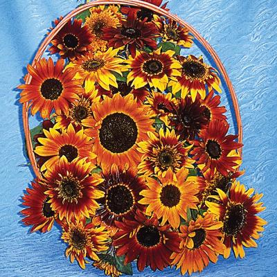 Sunflower Royal Flush Flowering Seed Mixture (25 Seed Packet)