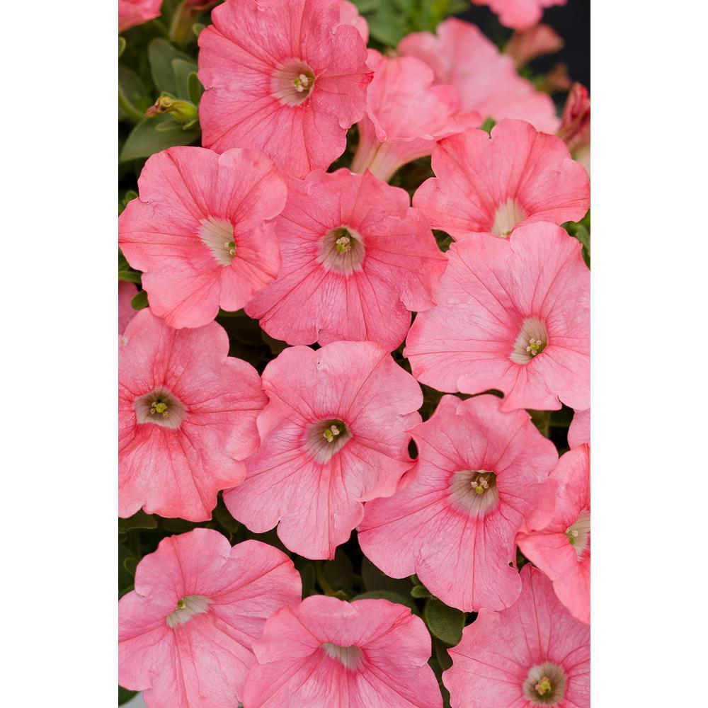 Supertunia Bermuda Beach (Petunia) Live Plant, Coral Pink Flowers, 4.25 in. Grande, 4-pack