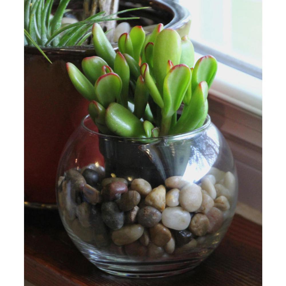 4 in. Crassula ovata 'Jade' Succulent Plant in Grower Pot (3-Piece)