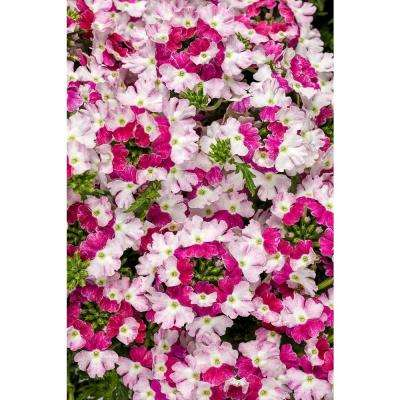 Pink verbena annuals garden plants flowers the home depot superbena royale sparkling ruby verbena live plant pink and white flowers 425 mightylinksfo