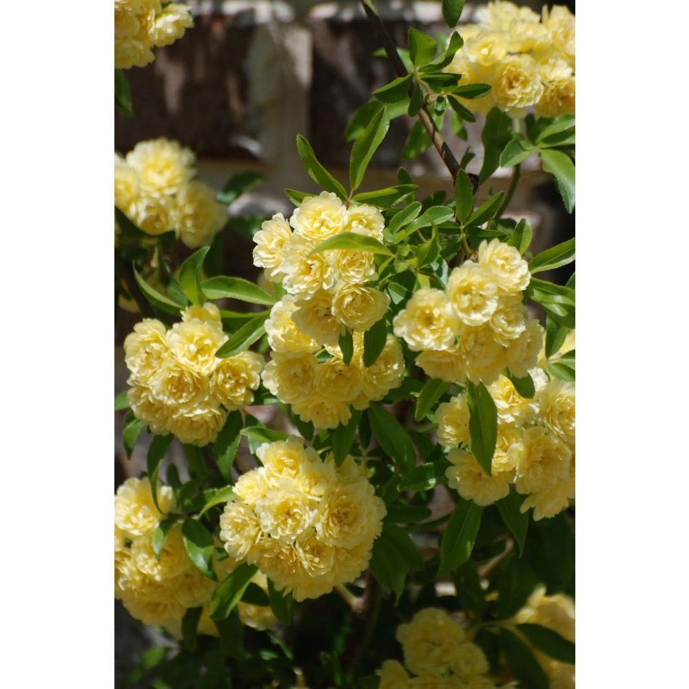 Mea Nursery ProUse Rose Lady Banks - Lutea
