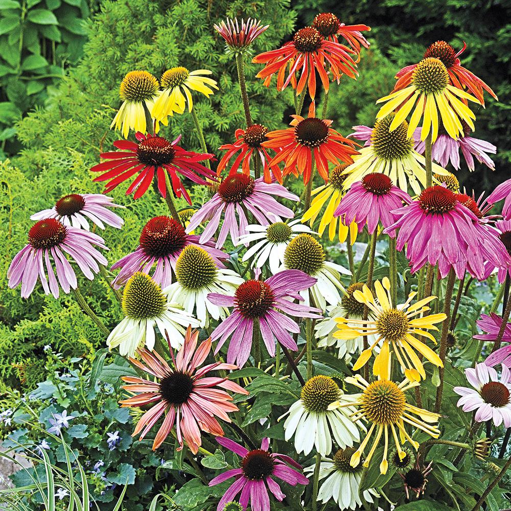 Spring Hill Nurseries Coneflower Mixture (Echinacea), Live Bareroot Plant, Multiple Colored Perennial (5-Pack)